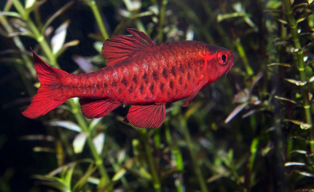 Barb-fish-types