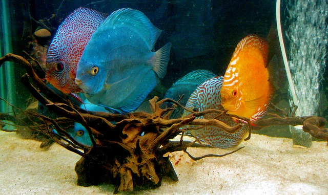 Discus-Fish-color-variations