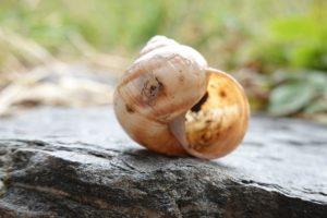 Ivory-Snails