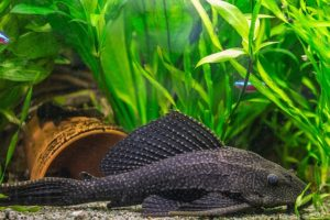 Pleco-fish