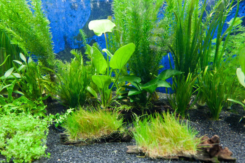 aquarium-plants-algae-eaters