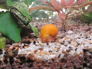 aquarium-snails