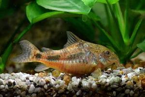 cory-catfish-corydoras