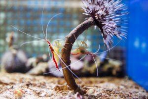 cleaner-aquarium-shrimps