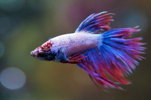 Crowntail-Betta-fish