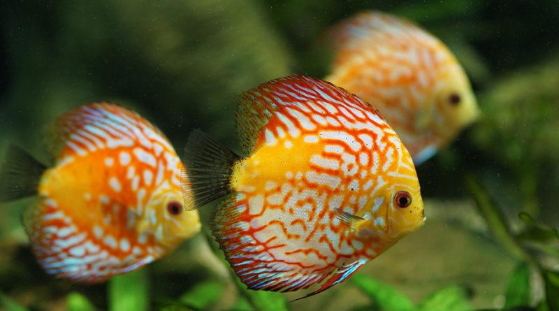 discus-fish-care