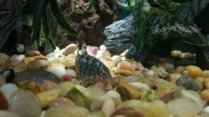 Loach-fish
