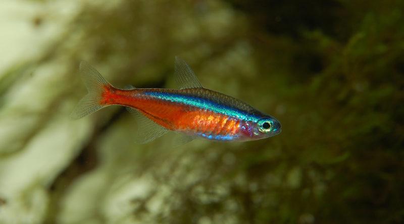 neon-tetra-care-guide-aquariumfreaks.com