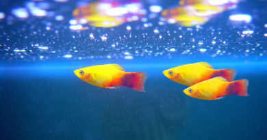 platy-fish-basic-care