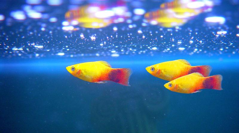 platy-fish-basic-care