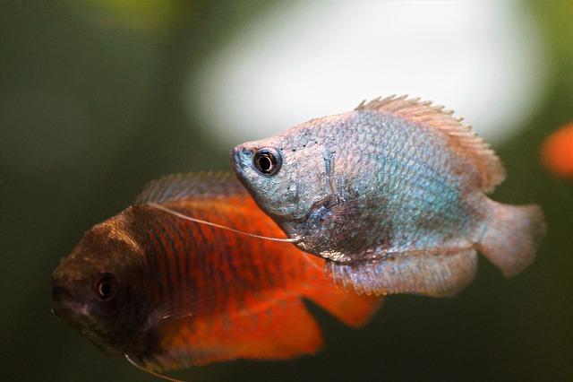 Dwarf-Gourami-best -fish-for-20-gallon-tank
