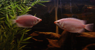 Pink Kissing Gouramis by Clevergrrl (flickr)