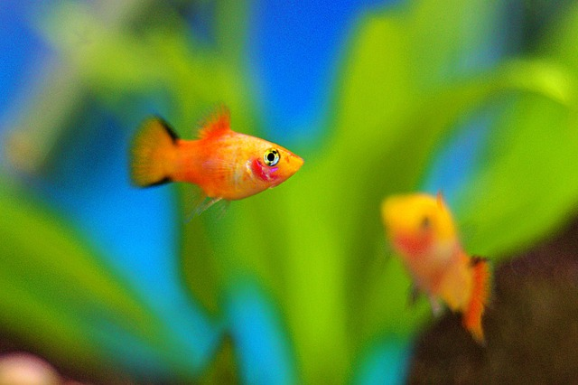 Platy-fish-care-best-fish-for-20-gallon-tank