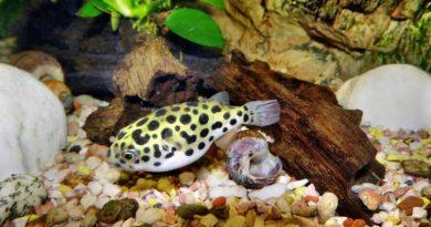 freshwater-puffer-fish