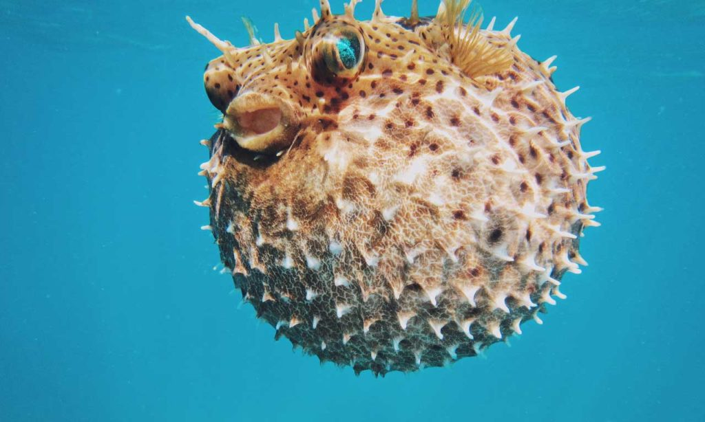 sea-puffer-fish-inflate-their-body-pixfuel-free-images