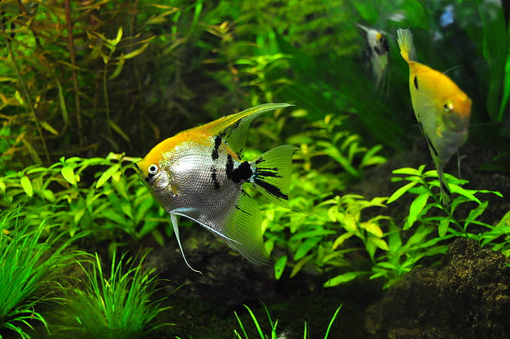 Freshwater-Angelfish-royality-free