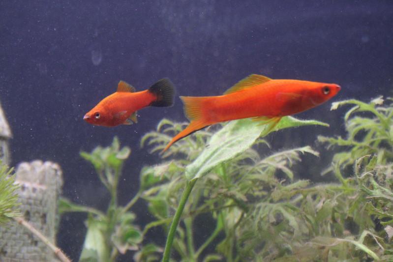 Swordtail-fish | Kai Schreiber | flicker.com