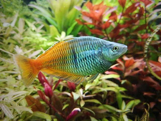 freshwater-rainbow-fish