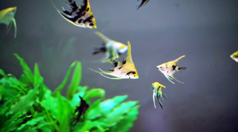Freshwater-Angelfish