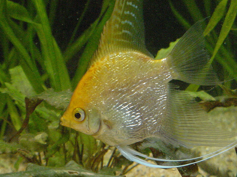 Gold Angelfish | commons.wikimedia.org | Neil916 (CC-BY-AA-2.5)
