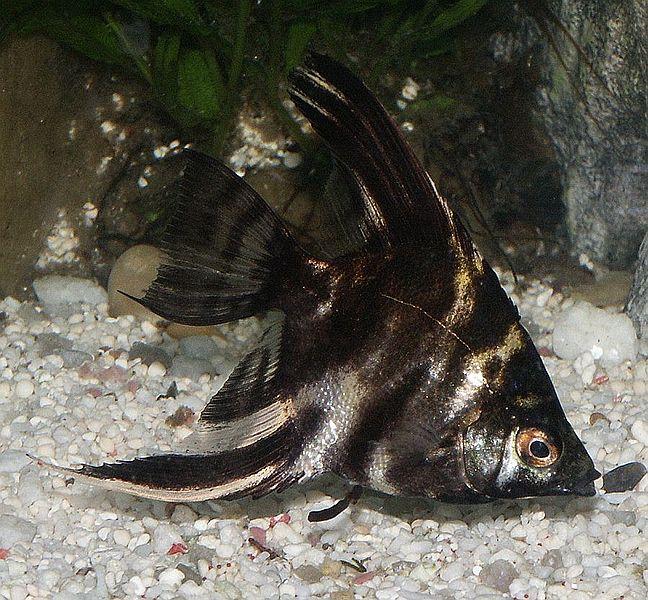 Marbled_angelfish | commons.wikimedia.org | Quatermass