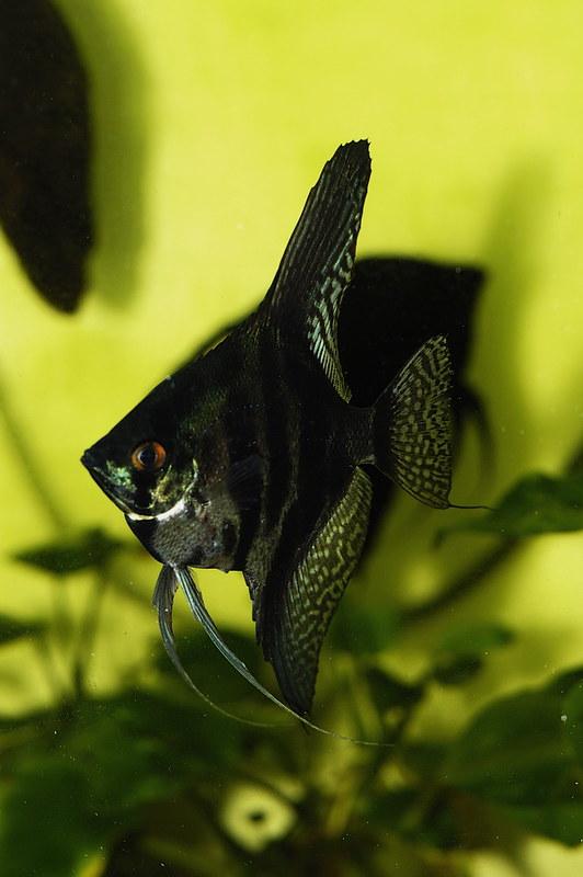 Zebra-Angelfish | Flicker | li-yong