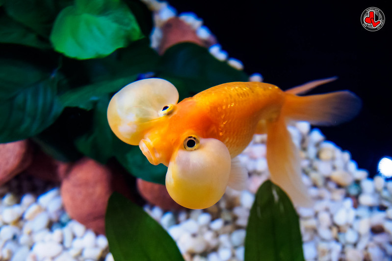 bubble-eye-Goldfish_flicker-Jonathan Leung