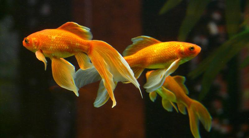 goldfish-comet-longfin