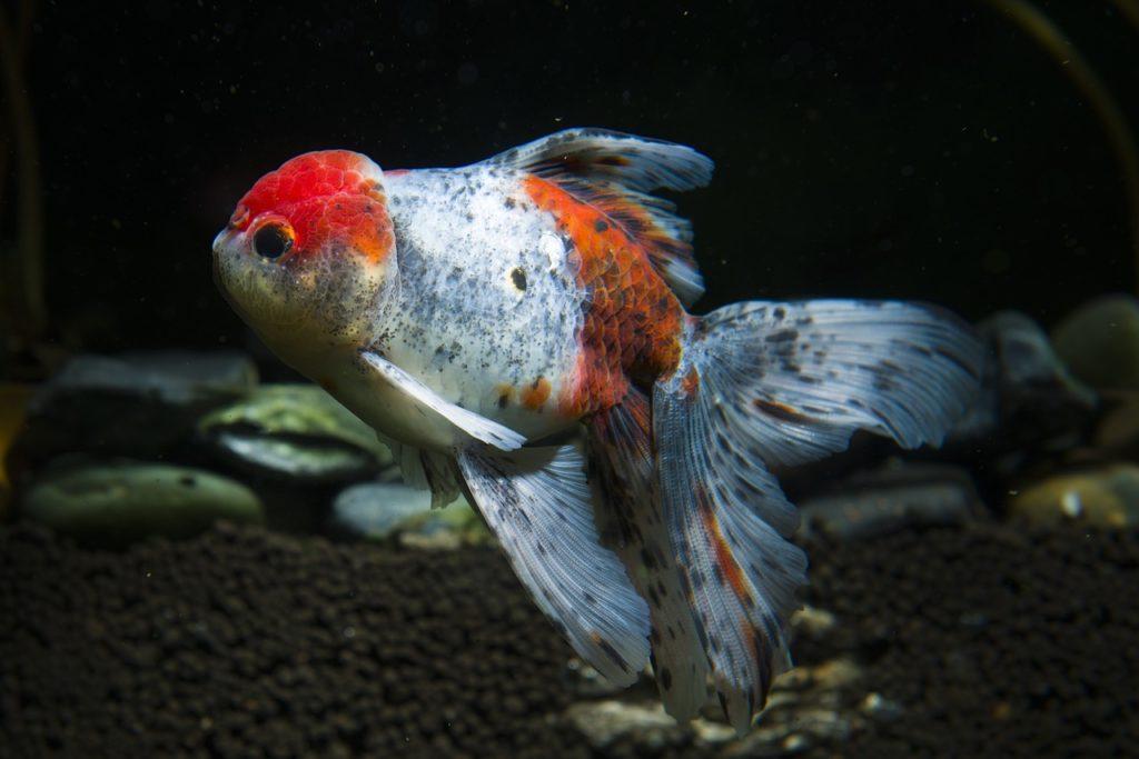 goldfish-oranda