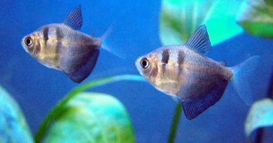 Black-Skirt-Tetra-Fernandograu-commons.wikimedia.org_