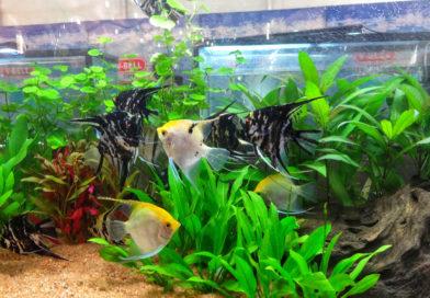 Freshwater-Angelfish