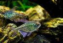 Tetra-fish-variations