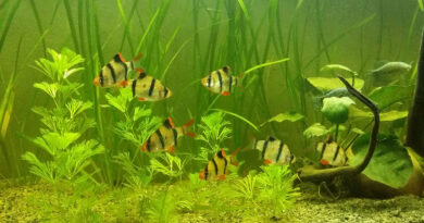 Tank-mates-for-Tiger_barb_fish | Wikimedia Commons